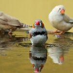 Zeebravink koppel vogels